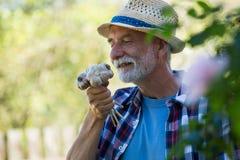 Hogere mens die vers geplukte knoflookbol ruiken royalty-vrije stock afbeelding