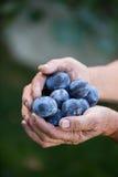 Hogere mens het plukken pruimen in een boomgaard Stock Foto's