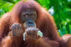 Hogere Orangoetan Stock Afbeelding