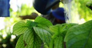 Hogere paar het water geven installaties met gieter in tuin stock video
