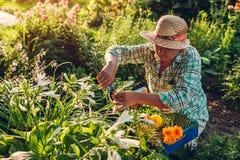 Hogere vrouw die bloemen in tuin verzamelen Vrouwen scherpe bloemen op middelbare leeftijd van het gebruiken pruner Het tuinieren royalty-vrije stock afbeelding
