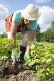 Hogere vrouw het oogsten aardappels Stock Foto