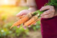 Hogere vrouw het oogsten wortelen Stock Foto's
