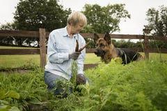 Hogere vrouw het plukken wortelen van haar tuintoewijzing met Elzassisch haar royalty-vrije stock afbeelding