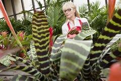 Hogere vrouwelijke tuinman die in serre werken Stock Foto