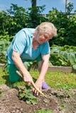 Hogere vrouwen in de tuin met aardbei Royalty-vrije Stock Fotografie