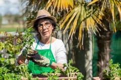 Hogere vrouwenpotting geraniumbloemen, in openlucht royalty-vrije stock afbeelding