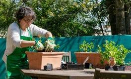 Hogere vrouwenpotting geraniumbloemen, in openlucht stock afbeeldingen