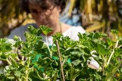 Hogere vrouwenpotting geraniumbloemen, in openlucht royalty-vrije stock foto