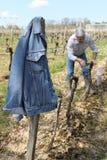 Hogere wijnhandelaar die in wijngaard werkt Royalty-vrije Stock Afbeelding