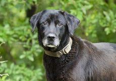 Hogere Zwarte Labrador gemengde rassenhond stock afbeeldingen