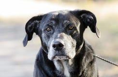 Hogere Zwarte Labradorhond met grijze snuit stock fotografie