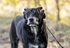 Hogere Zwarte Labradorhond met grijze snuit royalty-vrije stock fotografie