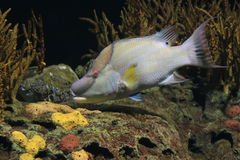 Hogfish Stock Image