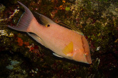 Hogfish Royaltyfri Bild
