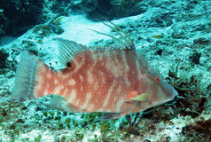 Hogfish Stock Photography
