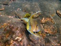 Hogfish messicano Fotografia Stock