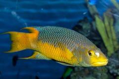 Hogfish spagnolo Fotografia Stock