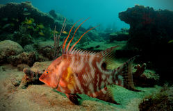 Hogfish or underwater lachnolaimus maximus Stock Images