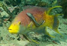 Hogfish y sharksucker españoles Fotografía de archivo libre de regalías