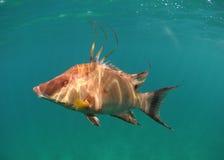Hogfishschwimmen Unterwasser Stockbilder