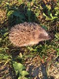 Hoglet Photographie stock