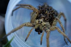 Hogna radiata with children on on its back, species of wolf spider present in South Europe, north Africa and Central Asia. Hogna radiata species of wolf spider stock image