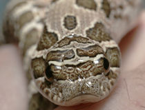 Hognose Image stock