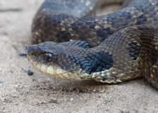 Hognose Snake. Photograph of a Hognose Snake coiled up in sand, flicking its tongue stock images