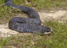 Hognose snake close up. Close up shot of a black hognose snake in the grass royalty free stock photos
