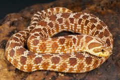 Hognose snake / Heterodon nasicus. The hognose snake is a small diurnal snake species that is also a popular pet snake species. These animals are considered royalty free stock photo