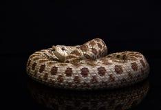 Hognose snake Lystrophis. Lystrophis hognose snake Leioheterodon black ground stock photos
