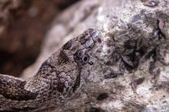 Hognose snake. Picture of a hognose snake royalty free stock photography