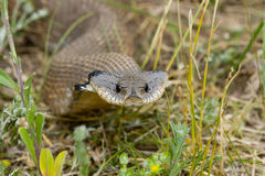 Hognosed Snake. Harmless Hognose Snake looking right at you royalty free stock photography