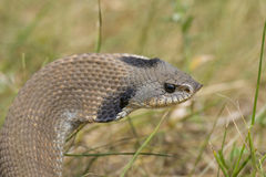Hognosed Snake. Western Hognosed Snake with its hood inflated stock photos