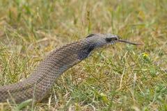 Hognosed wąż Zdjęcia Stock