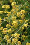 Hogs fennel plant. Photo of the hogs fennel plant which the rare fishers estuarine moth relies on to survive in low-lying coastal areas Stock Photography