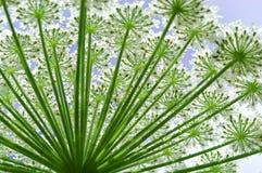 hogweed的花heracleum 免版税库存照片