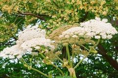 Hogweed, μια δηλητηριώδης απειλή εγκαταστάσεων, επάνθιση των άσπρων λουλουδιών της παστινάκης αγελάδων Στοκ Φωτογραφία