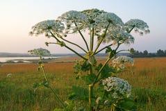 hogweed гигант Стоковая Фотография