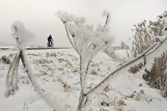 Hogweed замороженное Стоковое Изображение