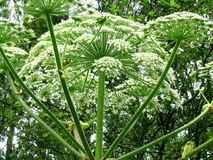 hogweed Royaltyfria Foton