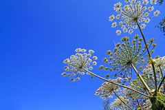 Hogweed Royalty Free Stock Photos