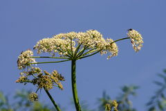 Hogweed Stockbild