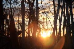 Hogweed busksnår Arkivfoton
