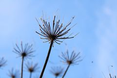 Hogweed close-up royalty free stock images