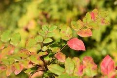 Hogweed com folhas vermelhas imagem de stock
