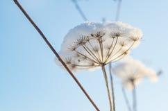 Hogweed con neve contro il cielo Fotografia Stock