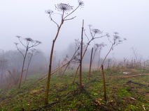 Hogweed fog autumn Royalty Free Stock Image