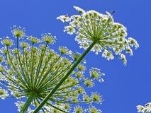 Hogweed géant, dans le latin : sphondylium de heracleum Photo libre de droits